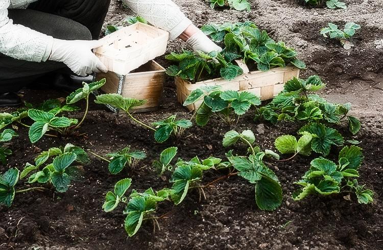 Посадка клубники осенью в открытый грунт: сроки, подготовка грядки, удобрения, видео, как подготовить грядку, какое удобрение вносить, полив