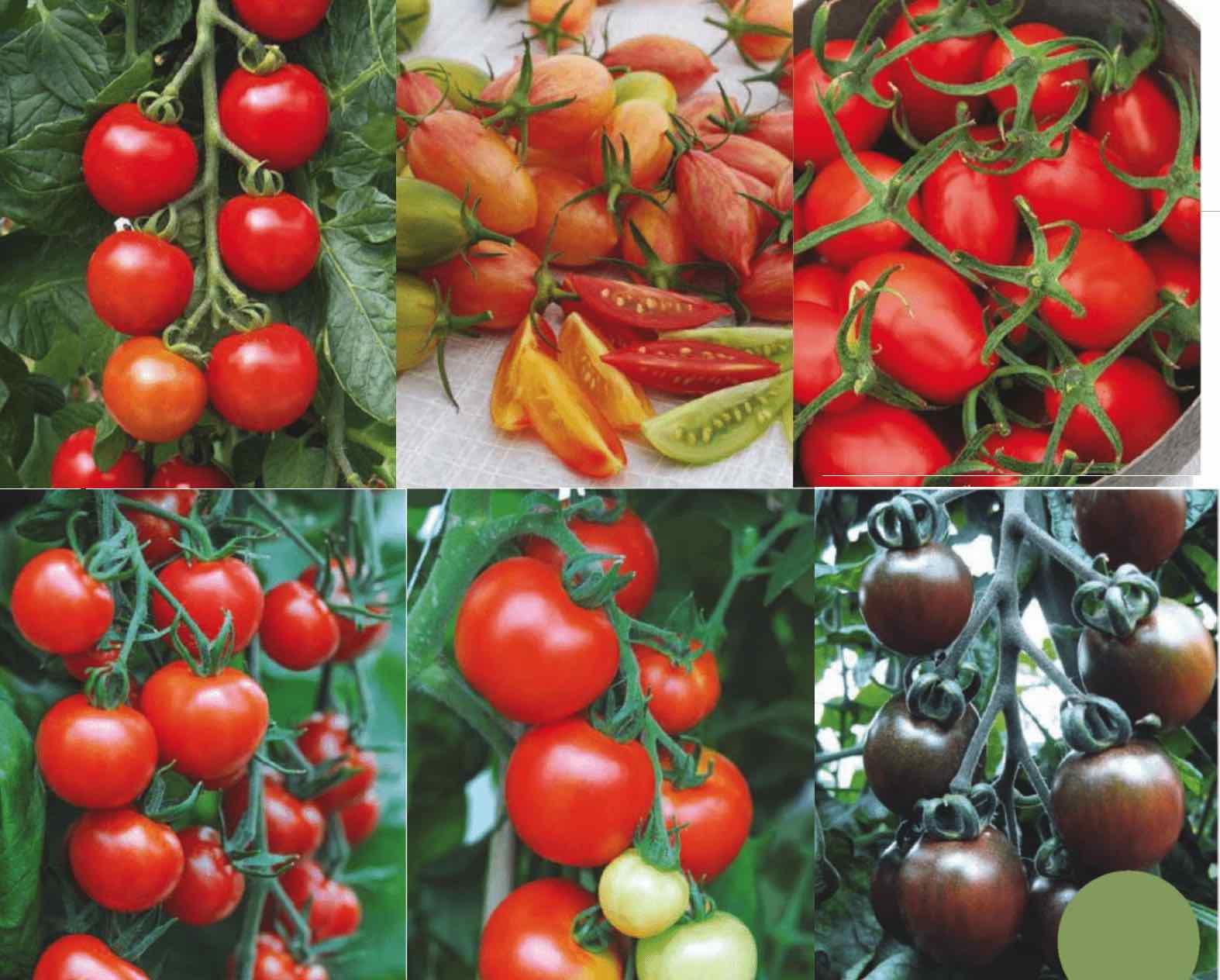 ультраранние сорта томатов для теплиц в подмосковье