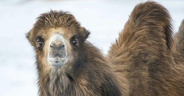 Поезд из Ташкента в Москву задержался из-за верблюда