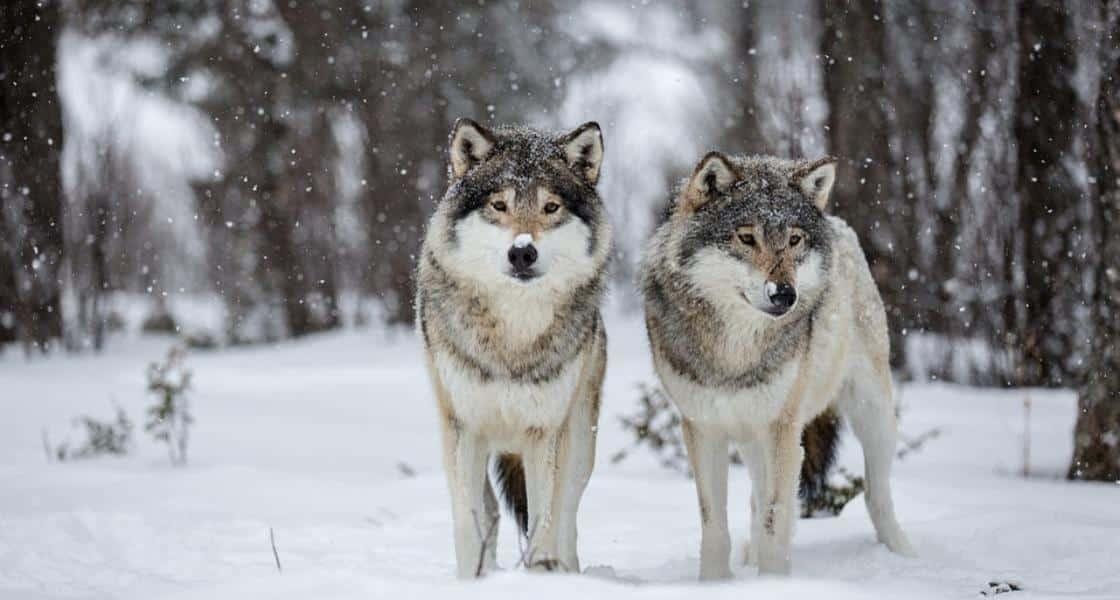 Отстрел волков в 2020 году: нужна ли лицензия в случае их нашествия
