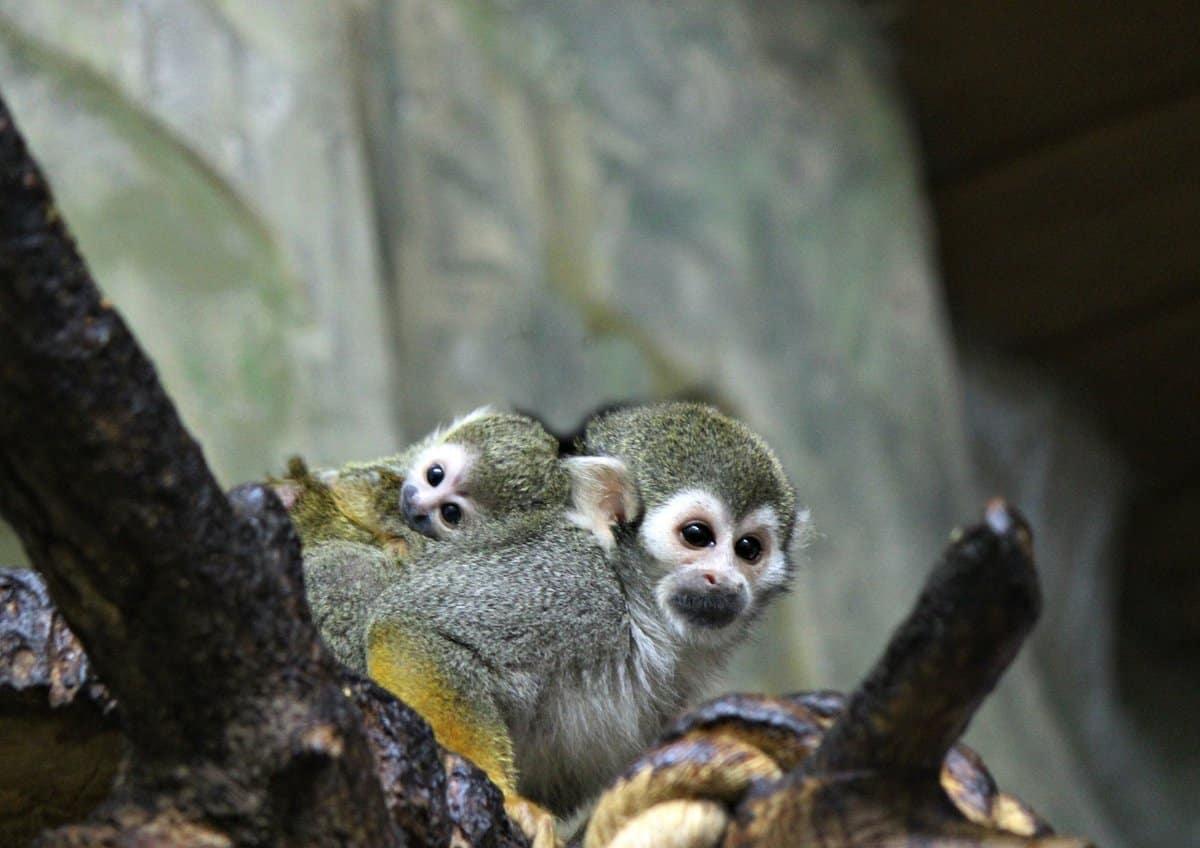 В Московском зоопарке у боливийских ночных обезьян пополнение в семействе
