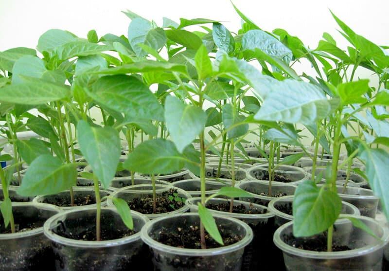 Когда высаживать перец на рассаду в феврале 2020 по Лунному календарю
