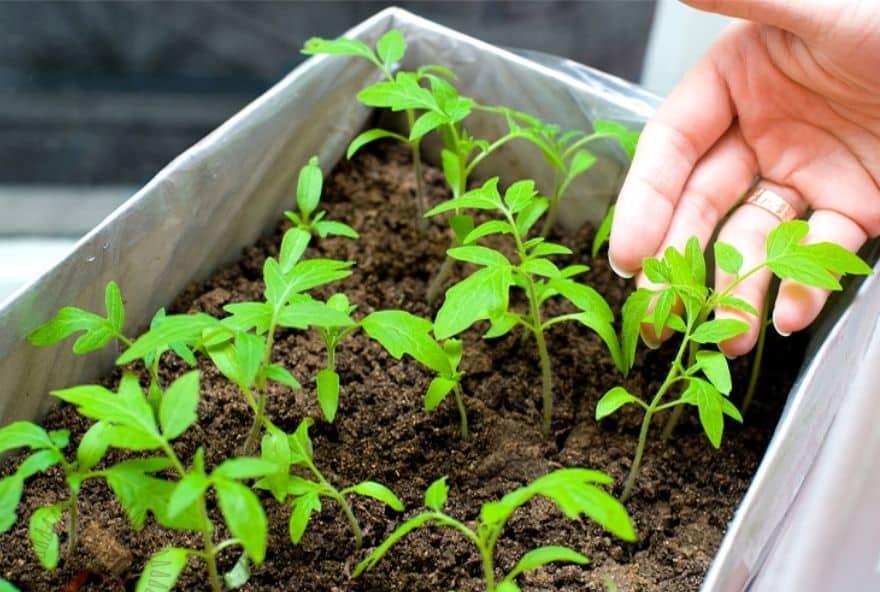 Когда можно сеять помидоры на рассаду в 2020 году: лунный календарь посевов