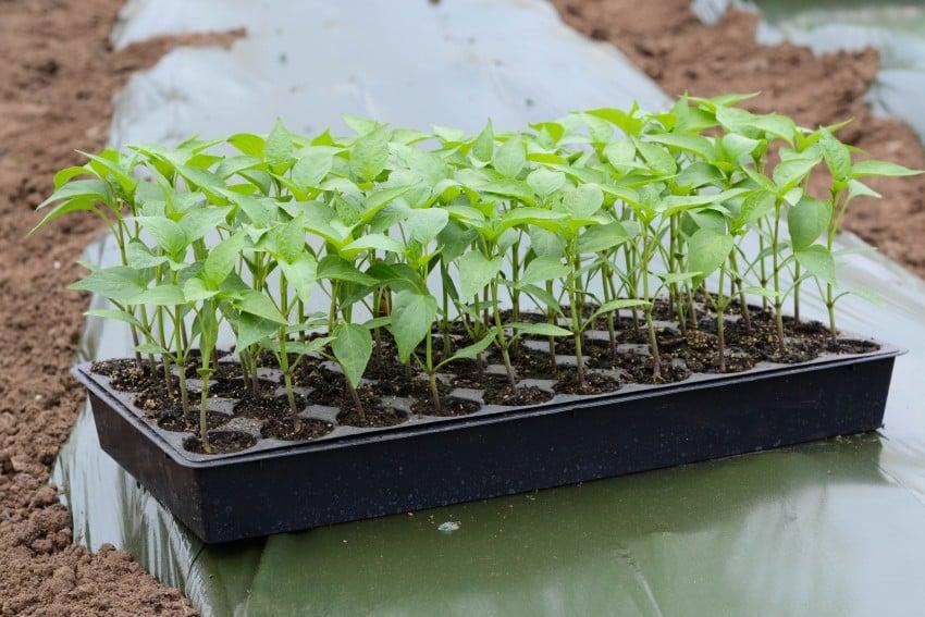 как правильно посадить перец на рассаду фото самом деле