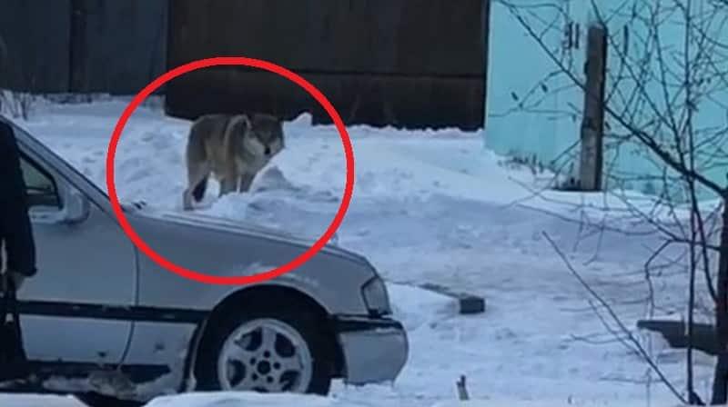 Волки в Башкирии: что произошло, правда и фейки