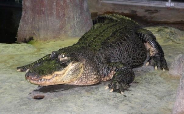 В Московском зоопарке умер аллигатор по кличке Сатурн, который сбежал из Берлина