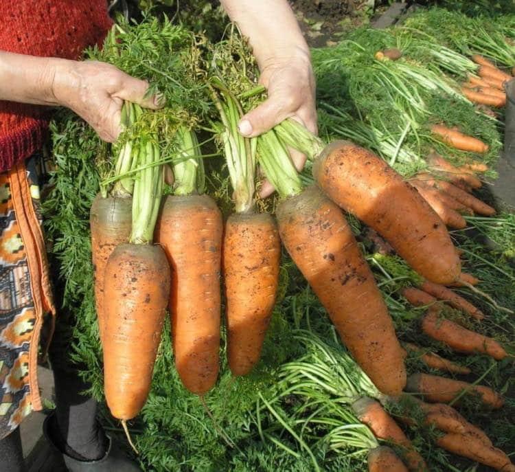 Как вырастить крупную и сладкую морковь на даче: рекомендации и основные правила