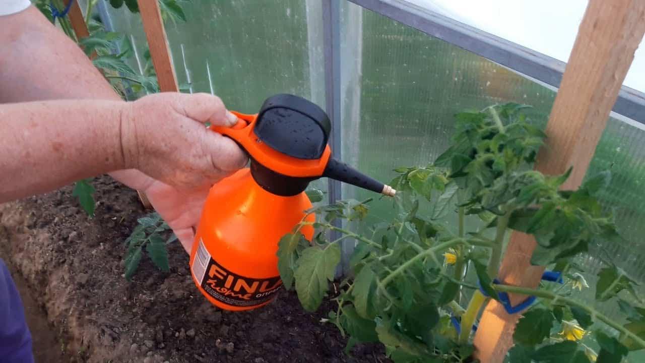 Какая требуется подкормка в июне грунтовым помидорам