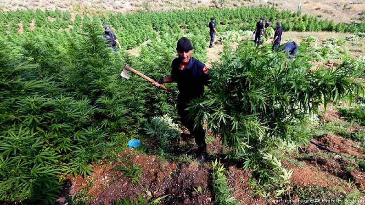Экологи России предлагают легализировать марихуану