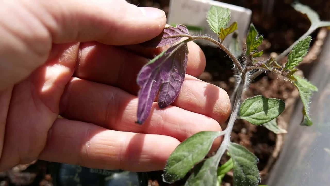 Чего не хватает помидорам: как определить состояние овощей по их листьям