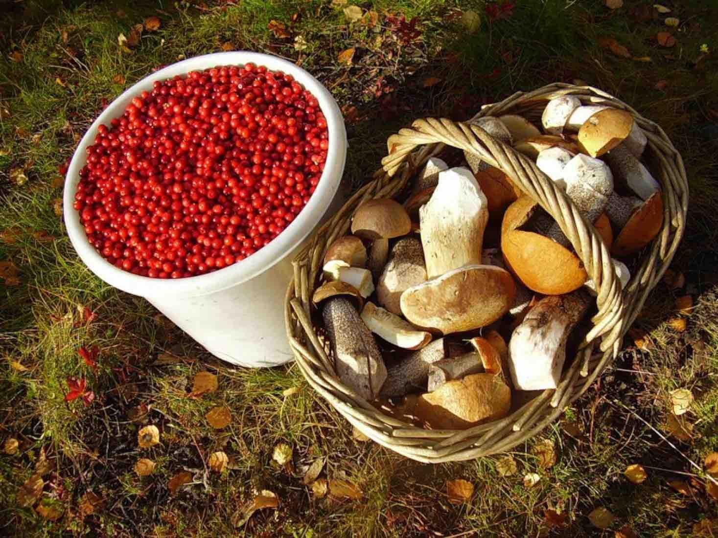 Слухи о запрете на сбор грибов и ягод в России, появились в сети