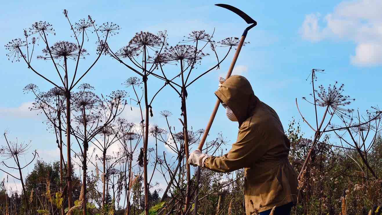 Нерадивых дачников ждет штраф за растущий на участке борщевик