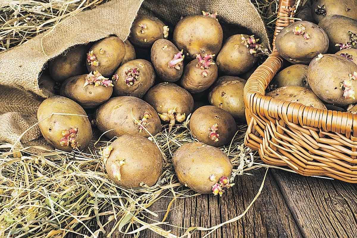 Секреты как отобрать картофель на посадку в следующем году