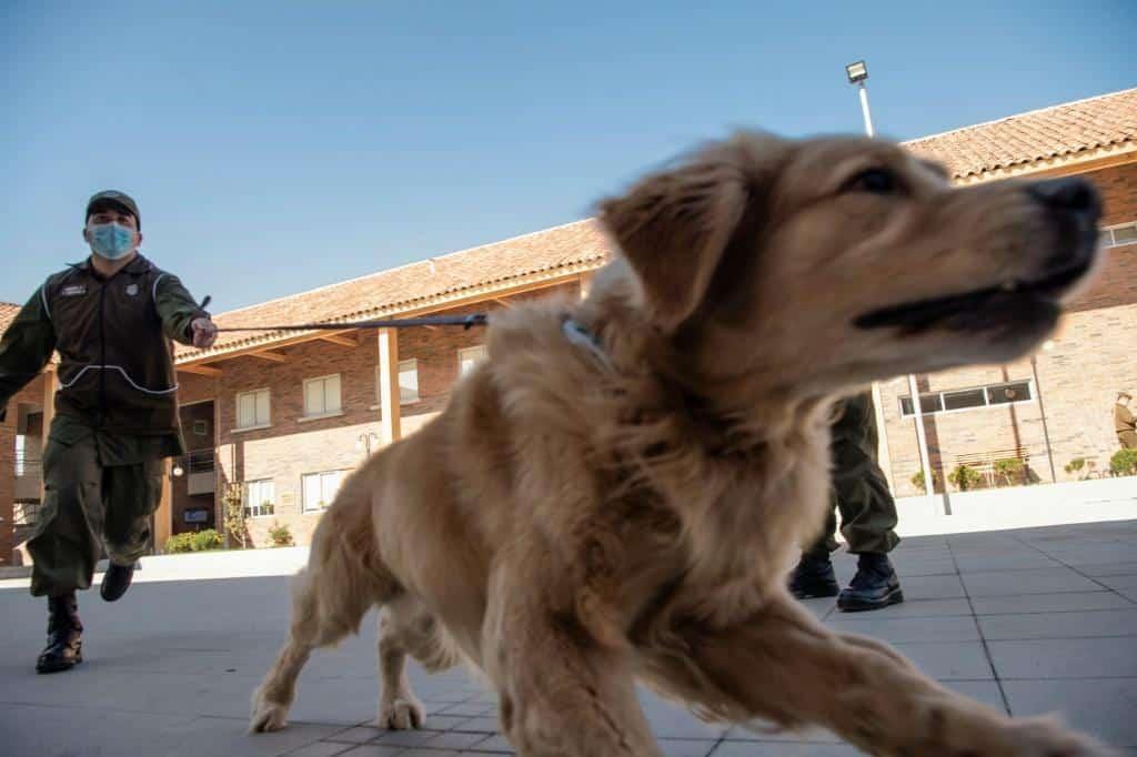 Собак научат распознавать людей, зараженных COVID-19