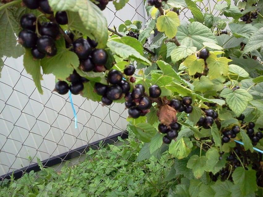 Почему в Америке не выращивают чёрную смородину?