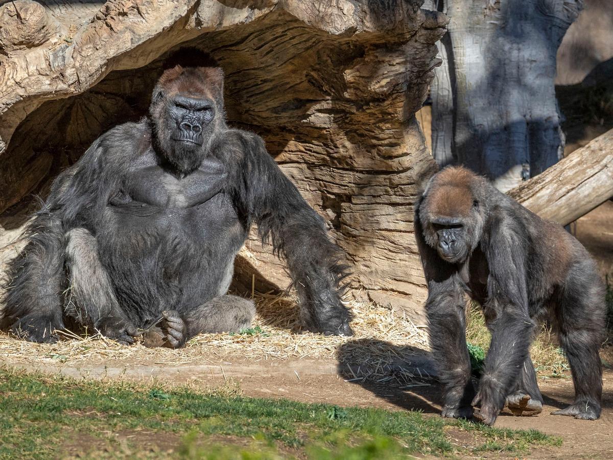 Ученые подтвердили передачу коронавируса от человека обезьянам