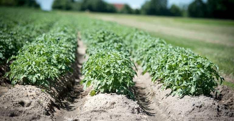 Штраф за выращивание картофеля в России: что за закон